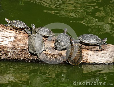 Turtles on a trunk of tree
