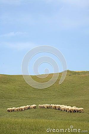 Tuscany countryside, sheeps