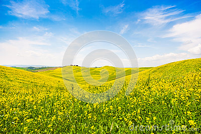 Tuscany landscape with field of flowers in Val d Orcia, Italy