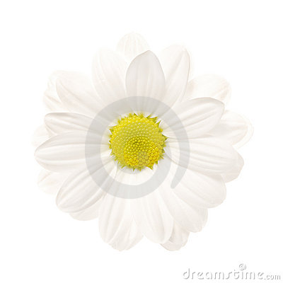 Tusensköna isolerad white
