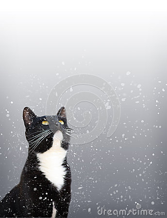 Tuxedo Cat Watching Snow