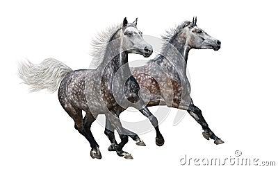 Två arabiska hästar för grå färg galopperar på vitbakgrund