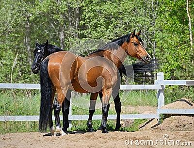 Två fullblods- hästar