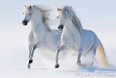 Två snabbt växande snow-white hästar