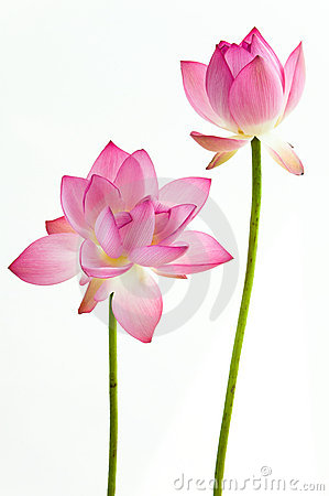 Free Twain Pink Water Lily Flower (lotus)  Royalty Free Stock Photography - 20197907