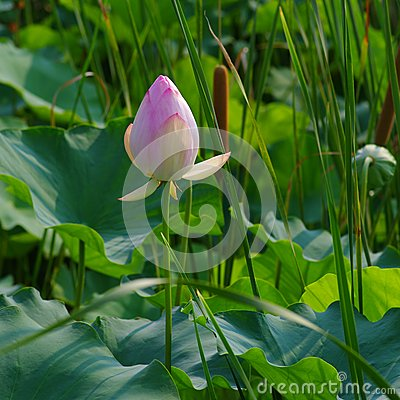 Free Twain Pink Water Lily Flower (lotus) Stock Image - 32562931