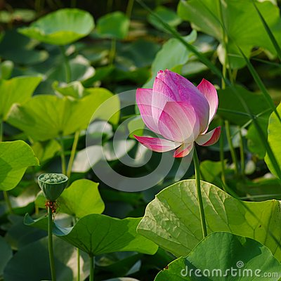 Twain pink water lily flower (lotus)