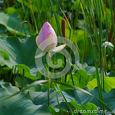Twain pink water lily flower (lotus)