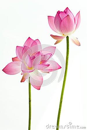 Twain-rosafarbene Wasserlilienblume (Lotos)