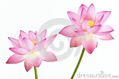 Twain różowy grążela kwiat i biały bac (lotos)