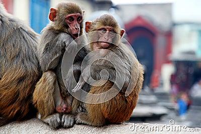 Twee apen