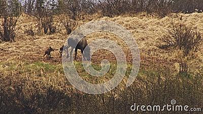 Twee babyamerikaanse elanden met moeder stock videobeelden