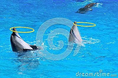 Twee dolfijnen die met ringen spelen