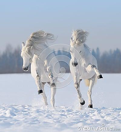 Twee galopperende sneeuwwitte paarden