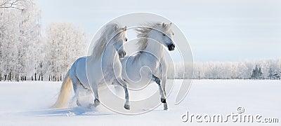 Twee galopperende witte poneys