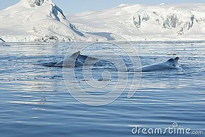 Twee gebocheldewalvis.