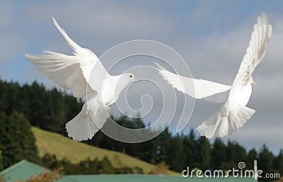 Witte duiven houden