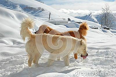 Twee honden