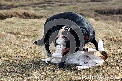 Twee honden het spelen.