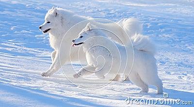 Twee honden Samoyed