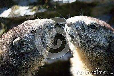 Twee hoofden van marmotten van aangezicht tot aangezicht