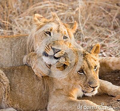 Twee jonge leeuwen