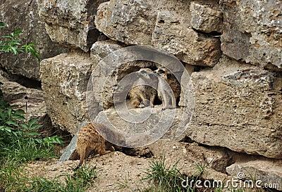 Twee marmotten die aan één kant kijken