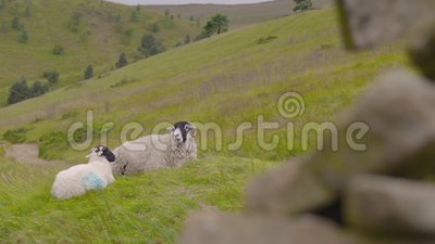 Twee schapen liggen op een heuvel stock video
