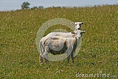 Twee sheeps in Bodmin leggen, Engeland vast