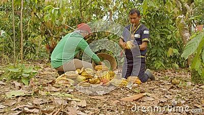 Twee werknemers die cacao eten en de bonen dolly hebben geoogst stock video