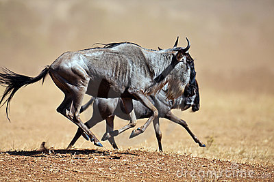 Twee wildebeests die de savanne doornemen