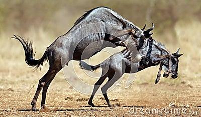 Twee wildebeeststribunes op reare