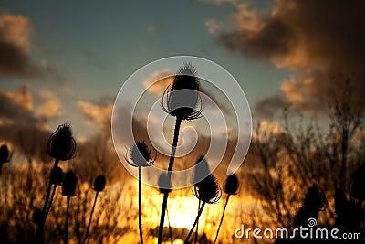 Twezel seed head in the sunset