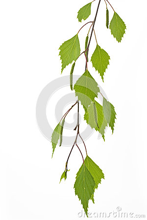 Twig with fresh birch leaves