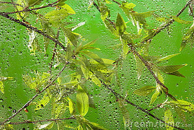 Twig with fresh spring leaves after rain