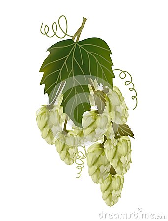 Twig hops on a white background