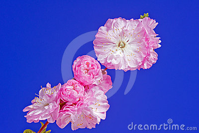 Twig with pink almond flowers