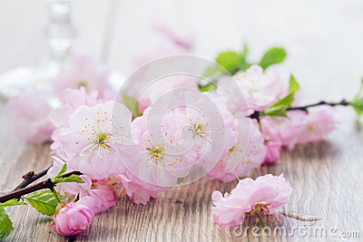 Twig of pink cherry flowers Stock Photo