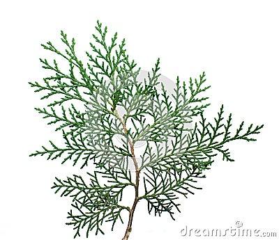 Twig tree Thuja.