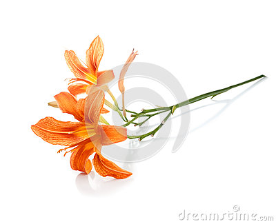 Twig with two flowers of lilies