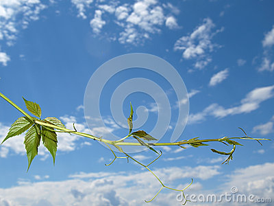 The twig of Virginia creeper on the sky background