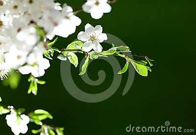 Twig with white flowers