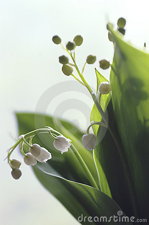 Twigs lily-of-the-valley
