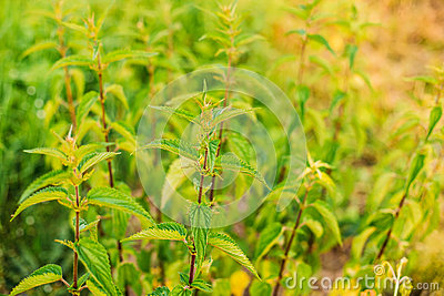 The Twigs Of Wild Nettle, Stinging Nettle Or Urtica Dioica In Summer Stock Photo