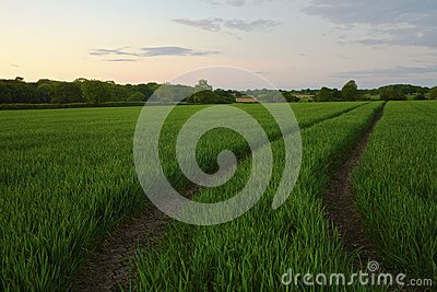 Twilight field of crops