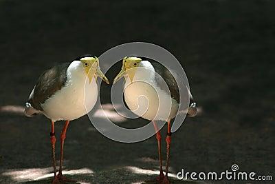 Twin birds
