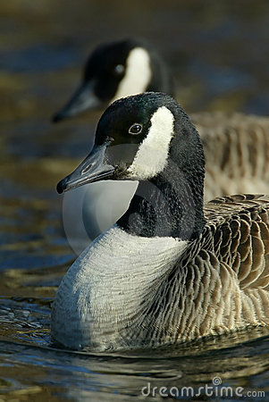Free Twin Canada Geese Stock Images - 9935634