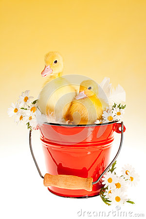 Free Twin Easter Ducklings In A Bucket Stock Image - 29570651
