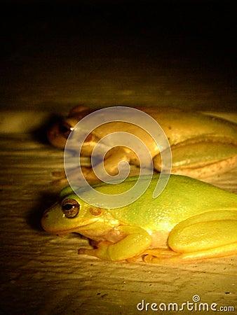 twin Frogs
