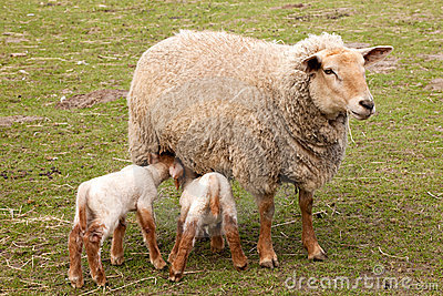 Twin lambs with mother sheep